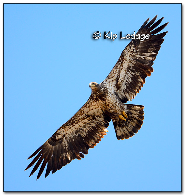 Juvenile Bald Eagle - Image 302805