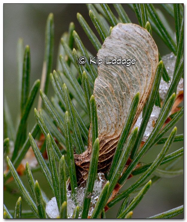 Maple Seed in Conifer - Image 305126