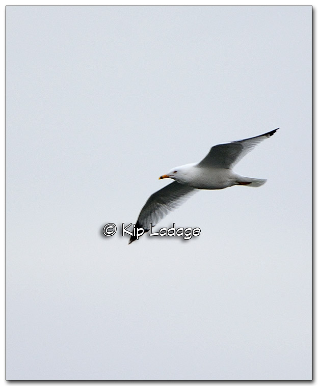 Ring-billed Gull - Image 303247