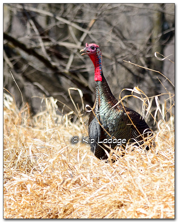 Wild Turkey - Image 304648