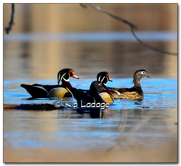 Wood Duck - Image 305507