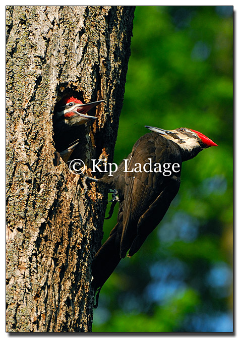 Pileated Woodpecker with Young at Nest - Image 122501