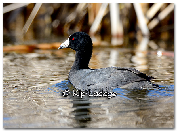 American Coot at Sweet Marsh - Image 310094