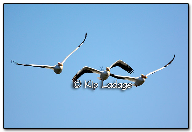 American White Pelicans in Flight - Image 310106