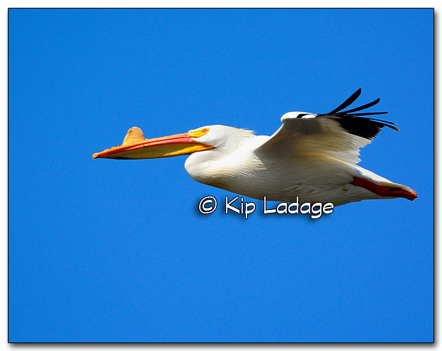 American White Pelican at Close Range - Image 310126