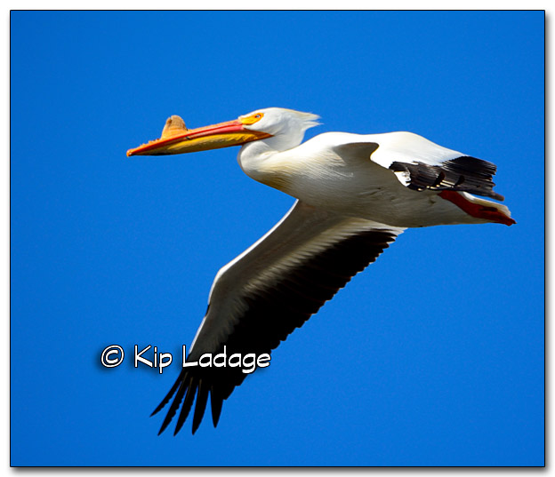 American White Pelican Up Close - Image 310128