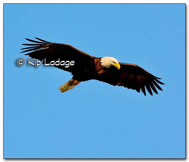 Bald Eagle at Sweet Marsh - Image 309619