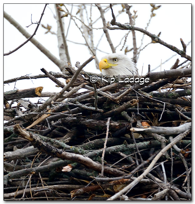 Bald Eagle in Nest - Image 309538