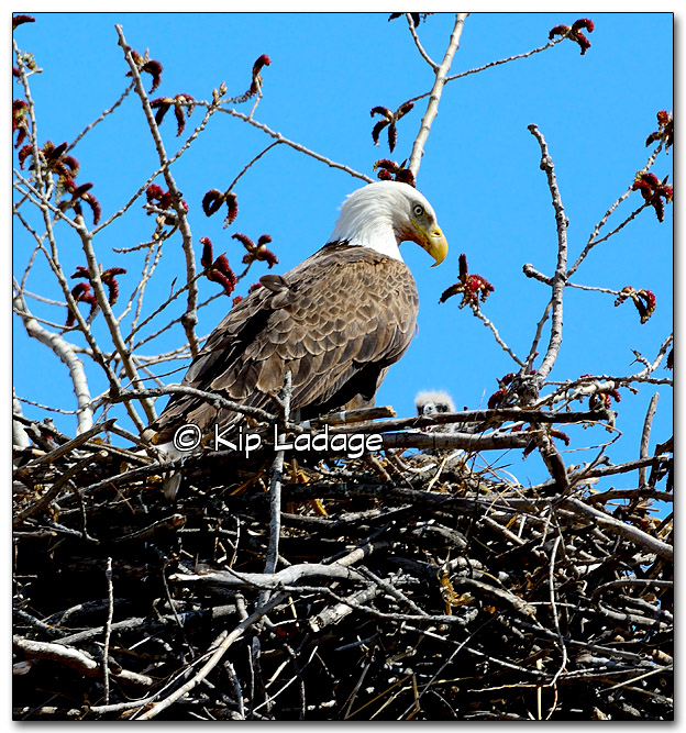 Bald Eagle in Nest With Young - Image 312406