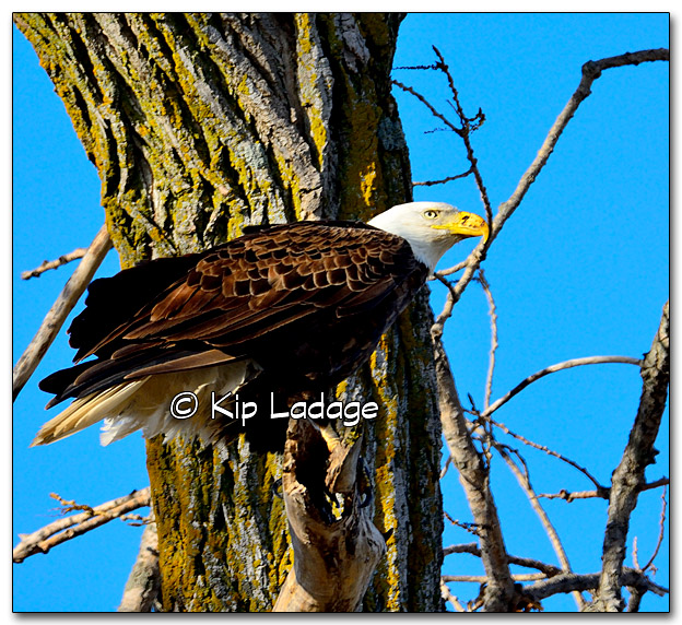 Bald Eagle on Dead Branch (Close) - Image 313998