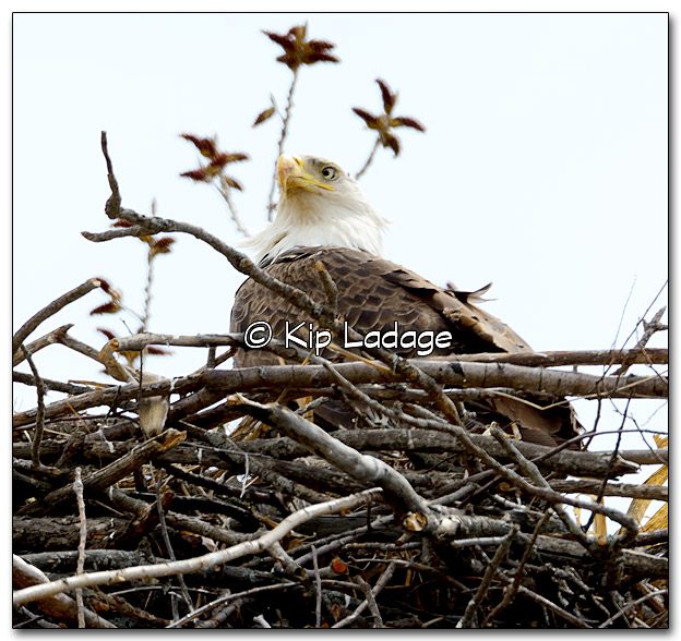 Cross-eyed Bald Eagle on Nest - Image 312118
