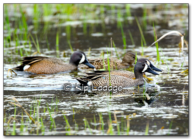 Blue-winged Teal on Frog Pond - Image 309427