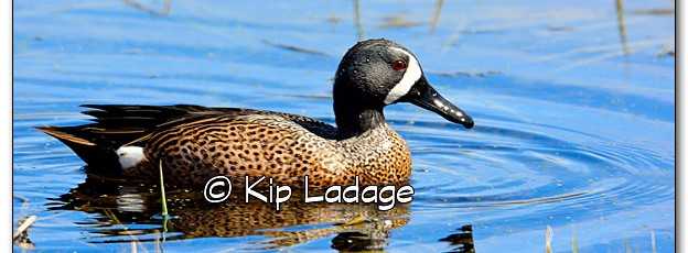 Male Blue-winged Teal at Close Range - Image 307328