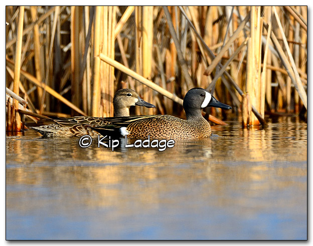 Blue-winged Teal at Sweet Marsh - Image 309630