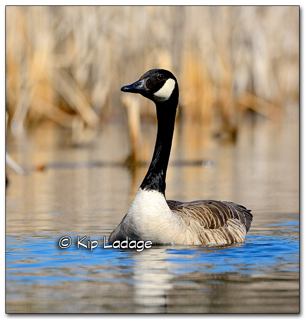 Canada Goose Swimming Toward Me - Image 310146