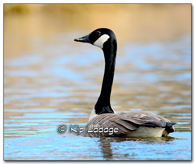 Canada Goose at Sweet Marsh - Image 309649