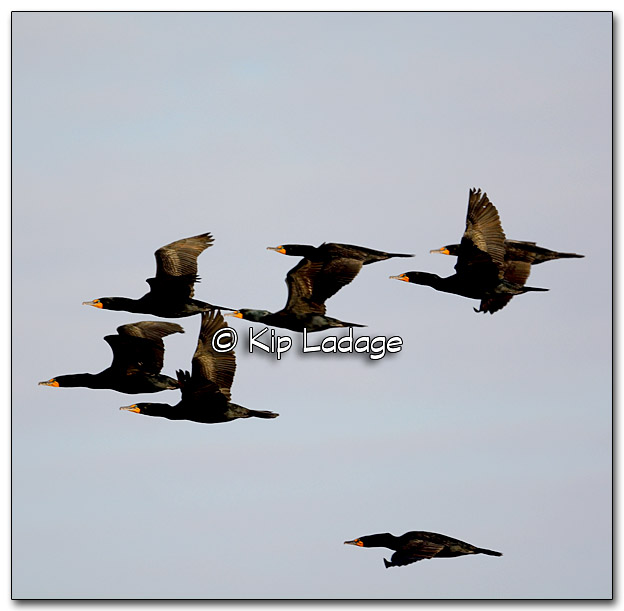 Double-crested Cormorants at Sweet Marsh - Image 309658