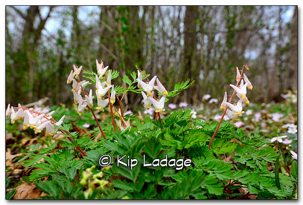 Dutchman's Breeches at Ingawanis Woodland - Image 311872