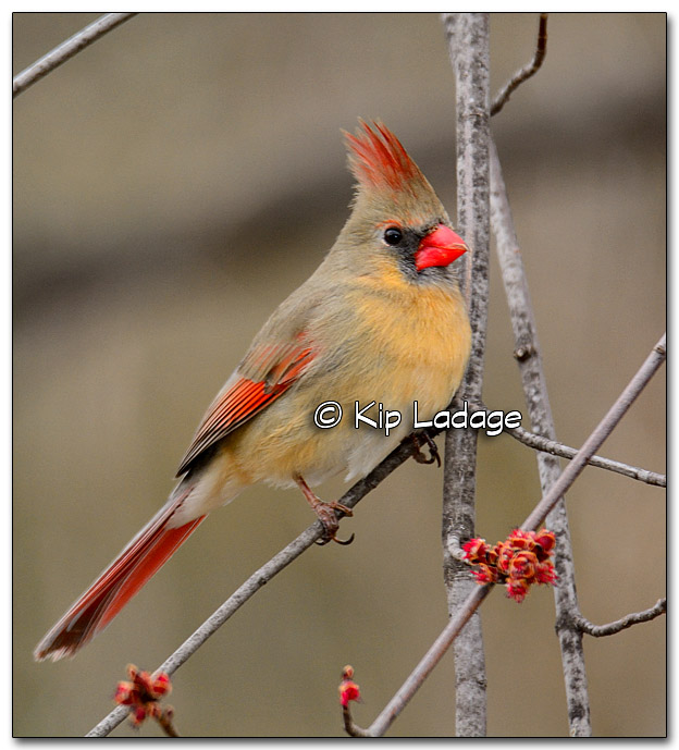 Female Northern Cardinal in Maple Tree - Image 307836
