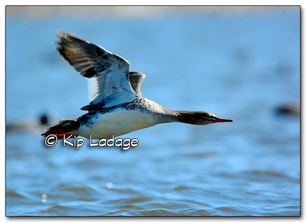 Red-breasted Merganser Taking Flight - Image 310189