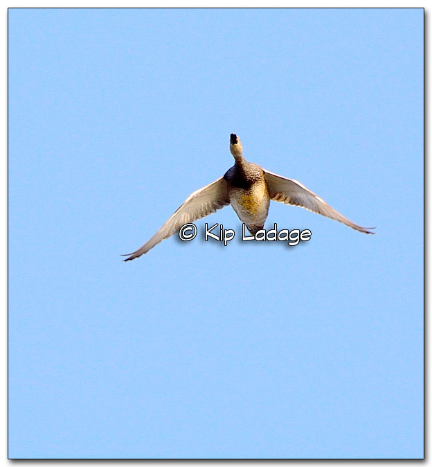 Gadwall in Flight at Sweet Marsh - Image 309666