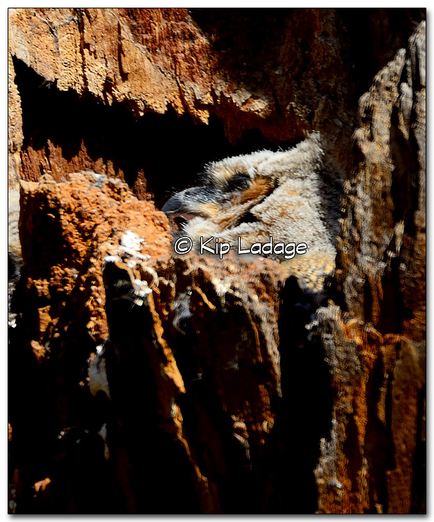 Great Horned Owl Nestling in Nest - Image 310462