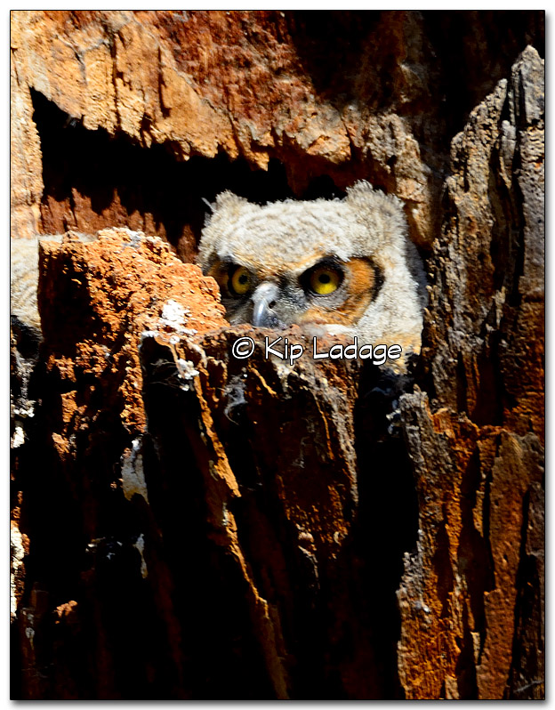 Great Horned Owl Nestling in Nest - Image 310560