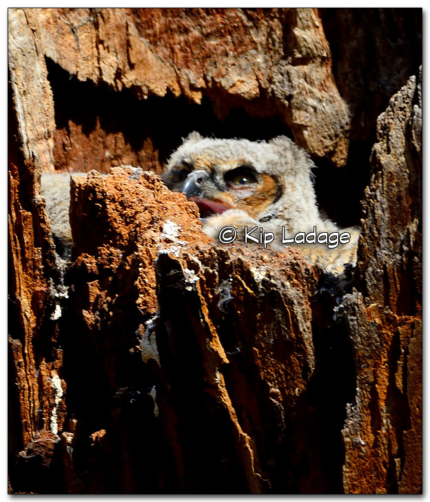 Great Horned Owl Nestling Panting in Nest - Image 310716