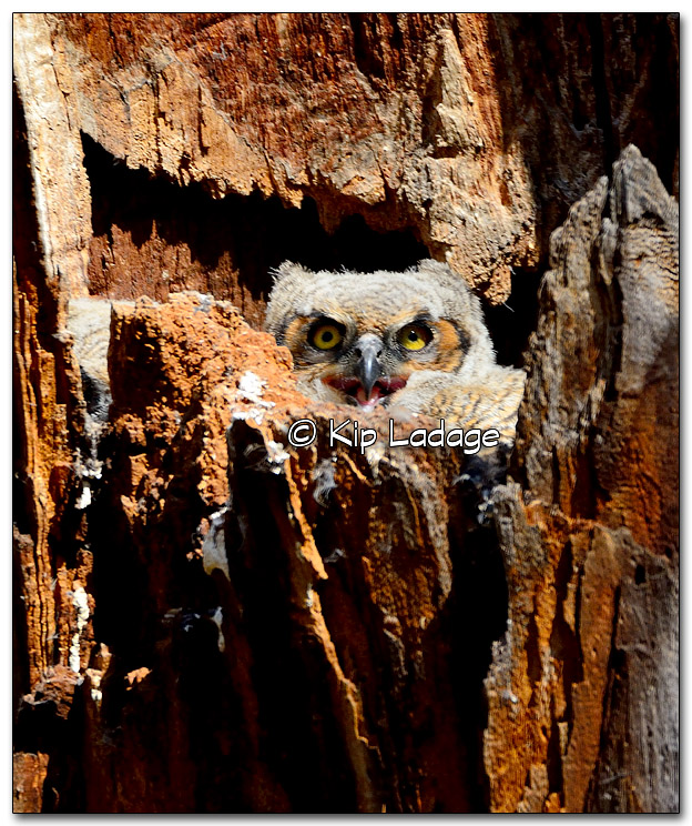 Great Horned Owl Nestling Panting in Nest - Image 310770