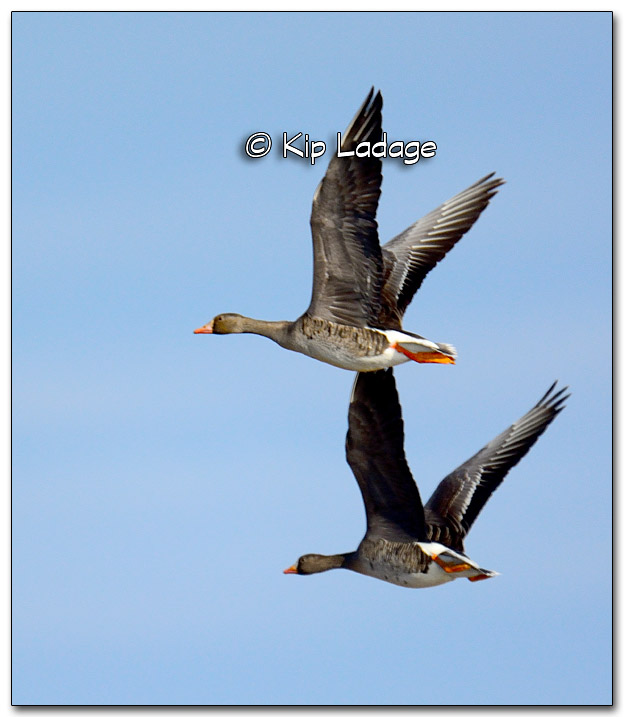 Greater White-fronted Geese at Sweet Marsh - Image 309677