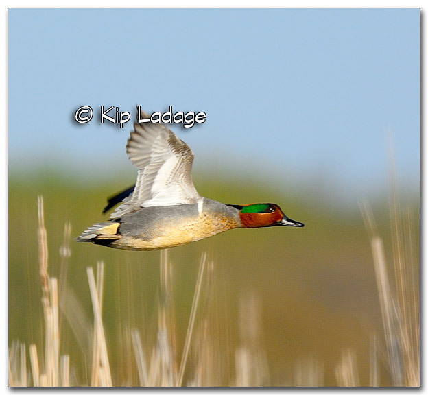 Green-winged Teal at Sweet Marsh - Image 316254