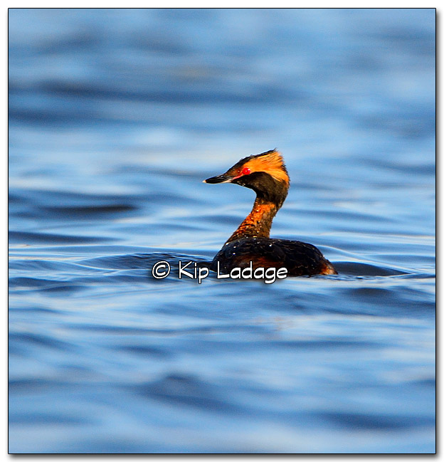 Horned Grebe at Sweet Marsh - Image 315531
