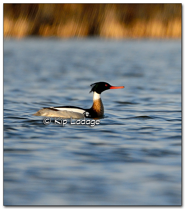 Male Red-breasted Merganser at Sweet Marsh - Image 308730