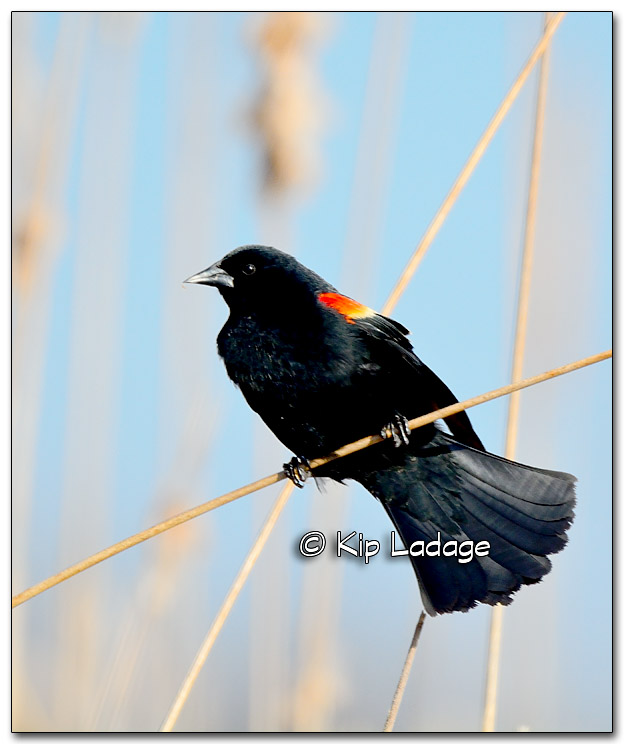Male Red-winged Blackbird on Cattail at Sweet Marsh - Image 309686