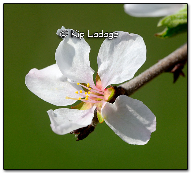Nanking Cherry Blossom with Green Background - Image 313532