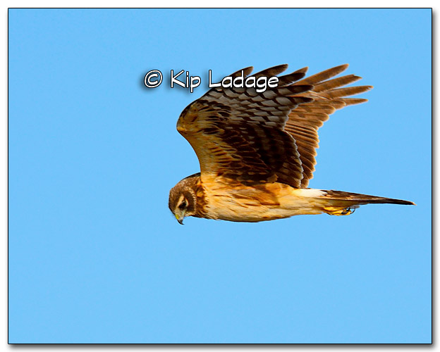 Northern Harrier in Flight - Image 309692