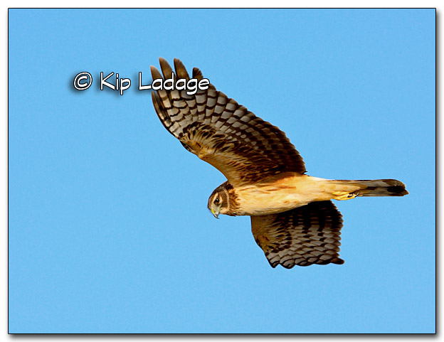 Northern Harrier in Flight - Image 309694