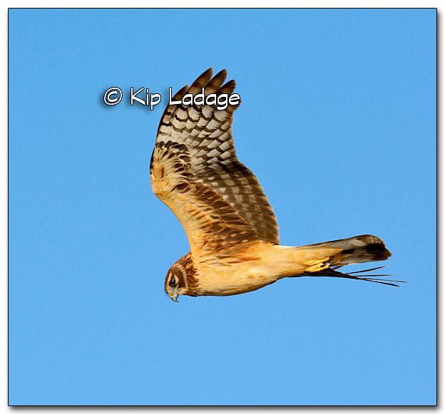 Northern Harrier in Flight - Image 309695