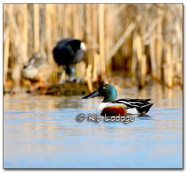 Northern Shoveler at Sweet Marsh - Image 309759