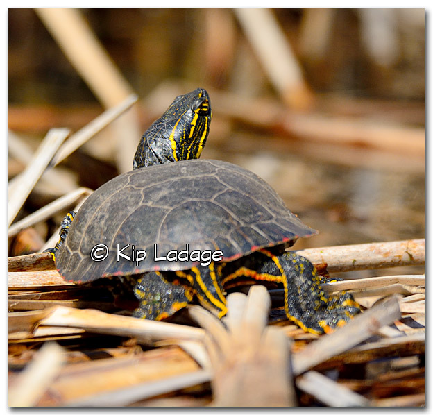 Painted Turtle on Cattails - Image 310222
