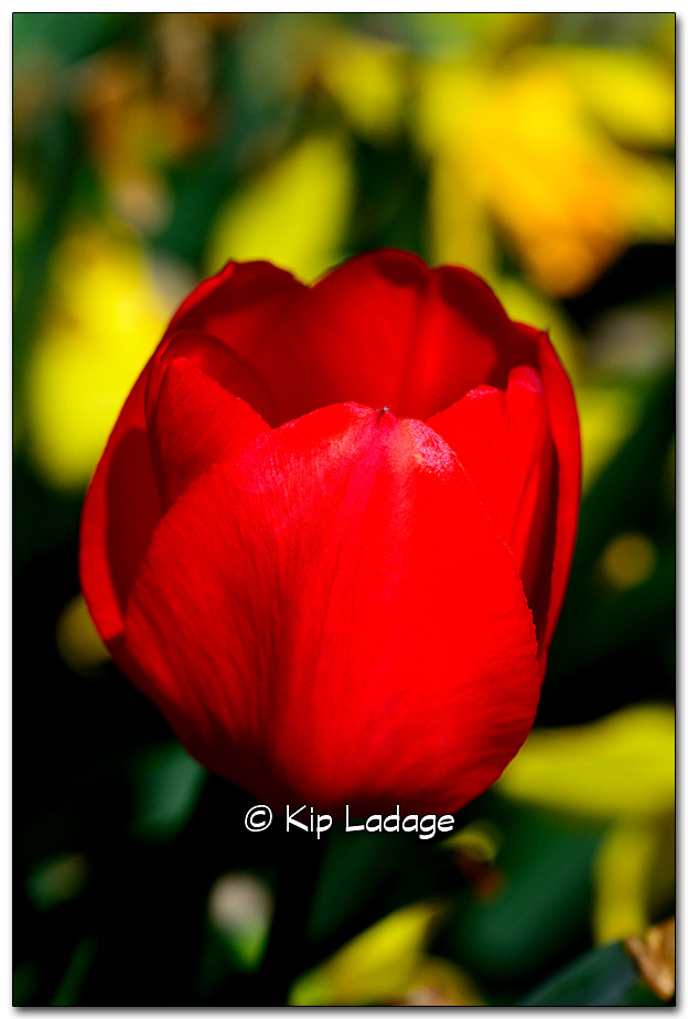 Red Tulip and Yellow Daffodils - Image 315802