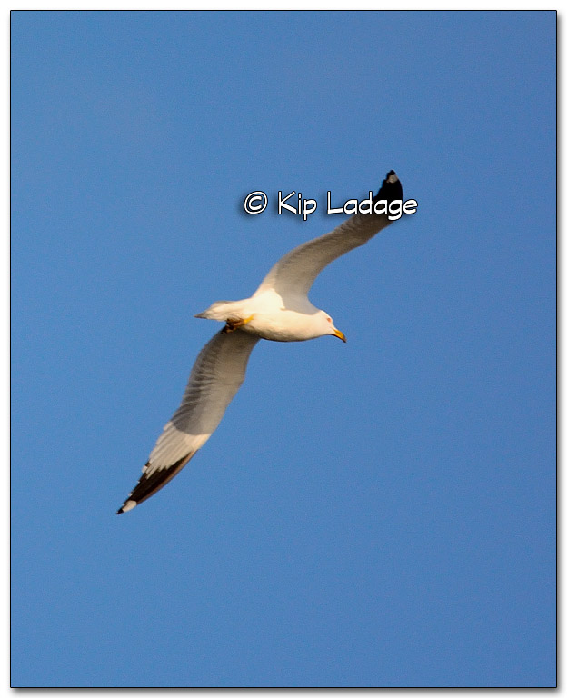 Ring-billed Gull - Image 309770