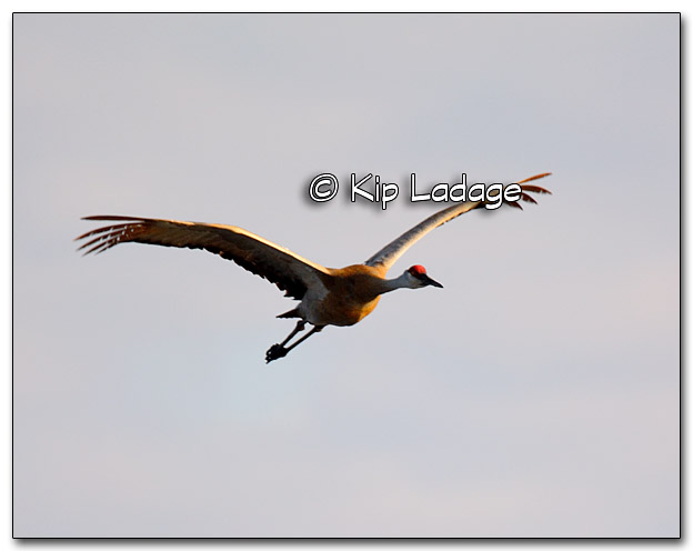 Sandhill Crane at Sweet Marsh - Image 309777