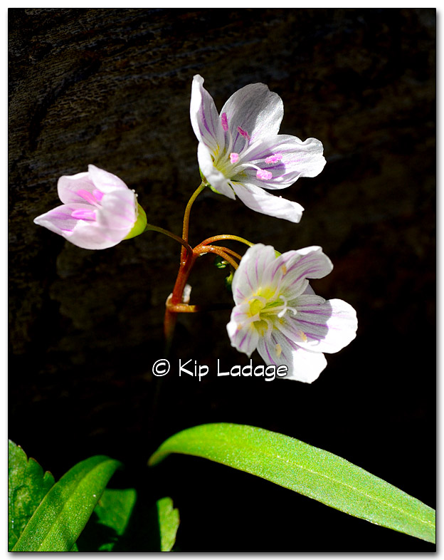 Spring Beauty at Ingawanis Woodland - Image 314501