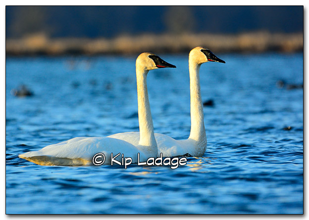 Trumpeter Swans at Sweet Marsh - Image 309859