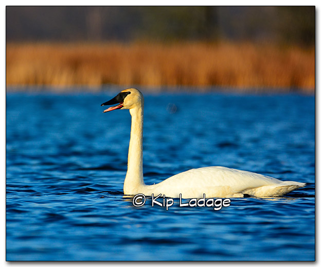 Trumpeter Swan at Sweet Marsh - Image 309915