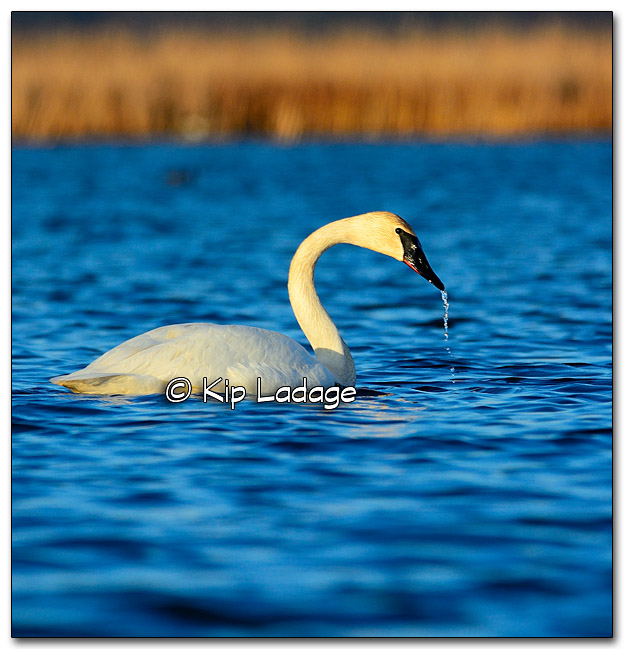 Trumpeter Swan at Sweet Marsh - Image 309938