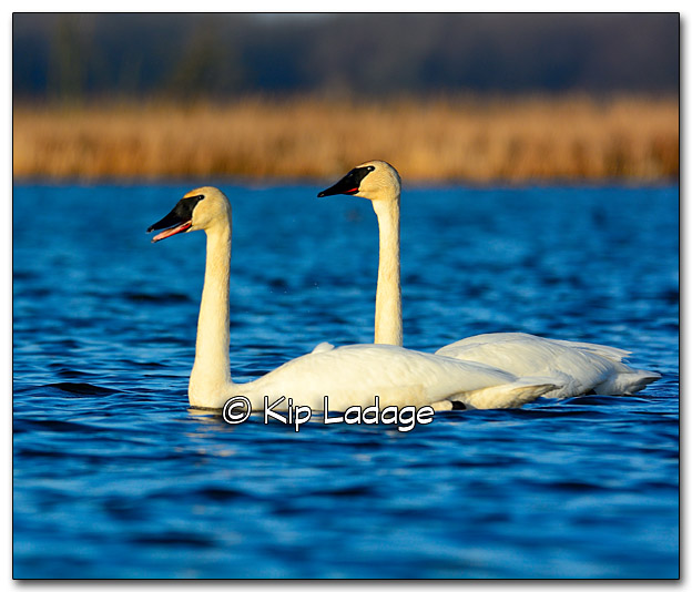 Trumpeter Swans at Sweet Marsh - Image 309951