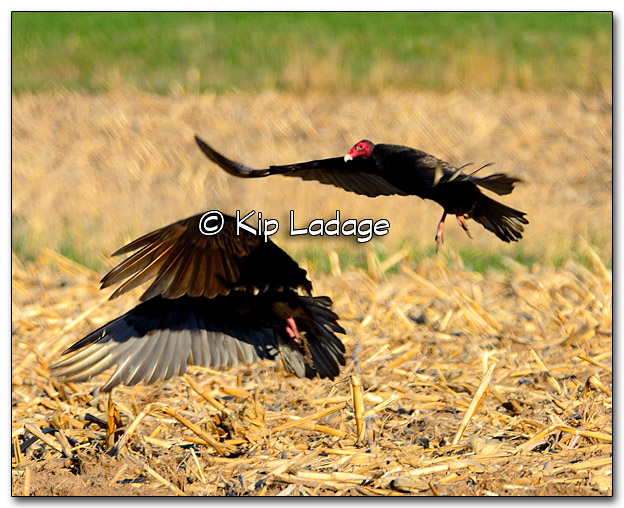 Turkey Vultures Taking Flight in Corn Stubble - Image 313915