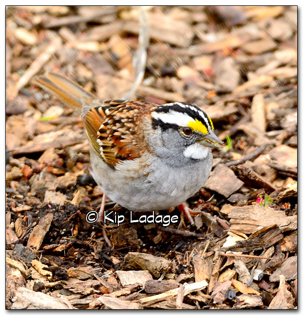 White-throated Sparrow - Image 314824